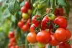Cách làm các loại mặt nạ dưỡng da từ cà chua mang lại hiệu quả như đi spa