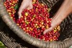 Giá nông sản hôm nay (30/5): Giá tiêu giảm mạnh, giá cà phê giảm 100-200 đ/kg