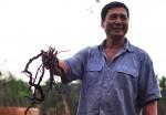 NÓNG: Lại cảnh báo việc nông dân đào rễ hồ tiêu bán sang Trung Quốc
