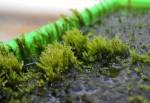 Phát hiện loài rêu khử độc asen: Hy vọng mới về nguồn nước sạch