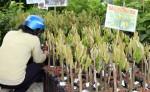 Giá giống sầu riêng tăng mạnh, dân ồ ạt thuê đất ươm cây