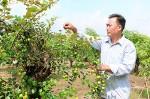 Lạ: Có trái ngọt bị chê, trồng trái chua khách lại kéo về nườm nượp