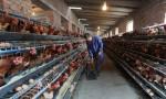 Ngành trứng Trung Quốc: Trại nuôi dưới 10.000 gà mái sẽ bị đóng cửa