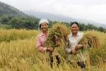 Săn lùng 'đệ nhất gạo nếp' Khẩu Tan Đón thơm ngon khó cưỡng