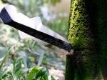 Bơm thuốc vào thân cây cam: Có tồn dư hóa chất trong quả?