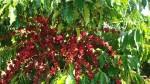 Giá nông sản hôm nay 21/8: Giá cà phê tăng 100-400 đ/kg, giá tiêu đi ngang