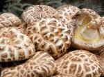 Nấm hương Nhật Bản giá 8,6 triệu/kg chính thức đổ bộ Việt Nam