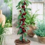 Từ A-Z cách trồng cherry tại nhà, vừa để trang trí vừa để lấy quả