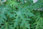 Bài thuốc điều trị bệnh sốt xuất huyết từ lá đu đủ: Đơn giản mà hiệu quả