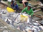 """Giá cá tra lại lập kỉ lục mới, sản lượng """"nhảy"""" lên gần 1 triệu tấn"""