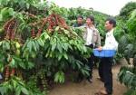 Giá nông sản hôm nay 12/11: Giá cà phê tăng nhẹ, giá tiêu giảm 2.000 đ/kg