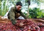 Giá nông sản hôm nay 15/11: Giá cà phê nhích lên 200 đồng, giá tiêu đi ngang