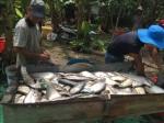 Nuôi loài cá đẹp mã trong ao, sau 8 tháng mà lời tới 3,5 tỷ đồng