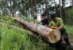 Đau xót những cái chết của rừng thông:Hạ độc, khoan lỗ để cây tự đổ