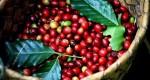 Giá nông sản hôm nay 11/12: Giá cà phê giảm 100-200 đ/kg, giá tiêu đi ngang