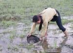 Hì hụi lội đồng săn đặc sản nòng nọc: Ngon, bổ hiếm có món nào bằng