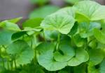5 lợi ích bất ngờ của rau má đối với sức khỏe