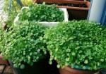 Cách trồng rau cải xoong từ gốc bỏ đi, chẳng mấy chốc rau xanh mởn, ăn lẩu ngon khỏi chê
