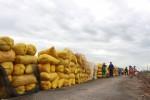 Đồng bằng sông Cửu Long : Giá lúa rớt thê thảm
