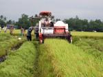 Giá lúa giảm mạnh: Cấp vốn nhanh cho doanh nghiệp cứu nông dân