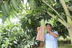 Nóng: Xoài Việt Nam chính thức sang Mỹ sau 10 năm đàm phán