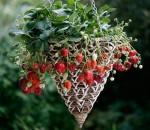 7 loại cây trồng trong giỏ cho quả lúc lỉu, nhìn