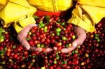 Giá nông sản hôm nay 24/5: Giá cà phê tăng 100-200 đồng/kg, giá tiêu ổn định
