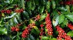 Giá cà phê hôm nay 1/6: Giá cà phê tăng 300-400 đồng/kg, dao động từ 33.200-33.900 đồng/kg