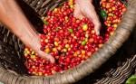 Giá cà phê hôm nay 18/6: Giảm 200 đồng/kg, dao động từ 31.200 - 32.400 đồng/kg