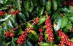 Giá cà phê hôm nay 20/6: Tăng nhẹ, dao động từ 30.900 - 32.200 đồng/kg