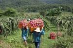 Giá thanh long Bình Thuận tăng cao ngất, hàng dạt không có mà bán