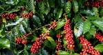 Giá cà phê hôm nay 25/7: Giảm 100-200 đồng/kg