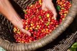 Giá cà phê hôm nay 31/7: Quay đầu giảm 100-200 đồng/kg