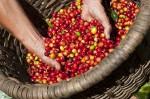 Giá cà phê hôm nay 14/8: Tăng 500-700 đồng/kg