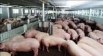 Gần một tấn lợn mắc dịch tả lợn châu Phi suýt lên bàn nhậu của người Việt