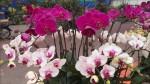 Cùng nghe chị bán hoa lan 10 năm hướng dẫn cách chọn hoa đẹp