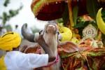 3.000 người dân Ấn Độ tới dự tang lễ một con bò