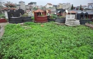 Kinh hãi rau sạch được trồng ở nghĩa trang, tưới nước cống đen ngòm
