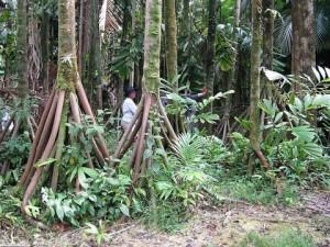 Bí ẩn loài cây có khả năng 'đi bộ' duy nhất trên thế giới