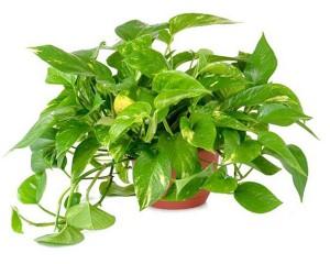 Cây độc: Cây trầu bà vô địch hấp thụ khí độc, nhưng có thể gây nguy hiểm khi ăn phải
