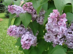 Trồng cây tử đinh hương mang vẻ đẹp rực rỡ lại chữa được bách bệnh tại nhà
