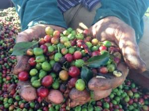 Giá nông sản hôm nay 13/3: Giá tiêu, giá cà phê cùng giảm, nông dân đứng ngồi không yên