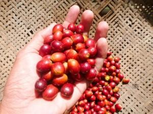 Giá nông sản hôm nay 16/3: Giá cà phê tiêu cực, dự báo giá tiêu tiếp tục giảm