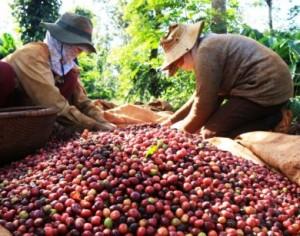 Giá nông sản hôm nay 20/3: Giá hồ tiêu lại giảm 2.000 đ/kg, cà phê tăng 300 đ/kg