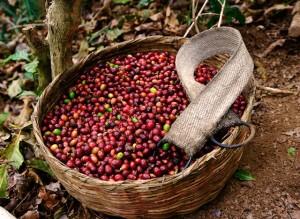 Giá nông sản hôm nay 24/3: Giá cà phê bất ngờ giảm mạnh 1000 đồng, giá tiêu lặng sóng