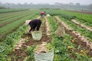 Hà Nội: 500 đồng/kg củ cải không người mua, nông dân ngậm ngùi vứt bỏ hàng trăm tấn