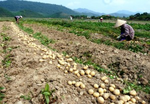 Sau su hào, củ cải đến lượt khoai tây rớt giá thảm còn 3.000 đ/kg