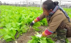 Su hào, củ cải phải nhổ bỏ vứt đi, vẫn nhập 3.000 tấn từ Trung Quốc