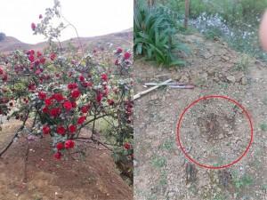 """Thông tin mới nhất vụ """"cây hoa hồng đắt giá bị đánh cắp bằng ô tô ngay tại nhà"""""""