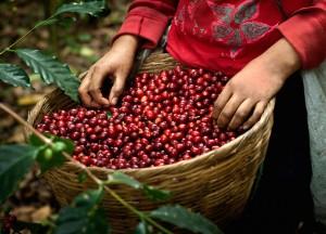 Giá nông sản hôm nay 11/4: Giá cà phê giảm mạnh, hồ tiêu đi ngang